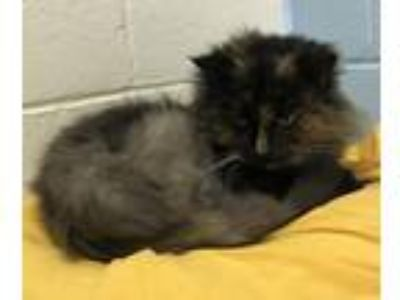 Adopt Misty a Domestic Long Hair