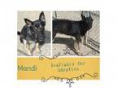 Adopt Mandi a German Shepherd Dog