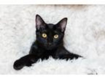 Adopt Hope 19-0138 a Black (Mostly) Domestic Shorthair / Mixed (short coat) cat