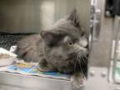Adopt SUSHI a Domestic Medium Hair