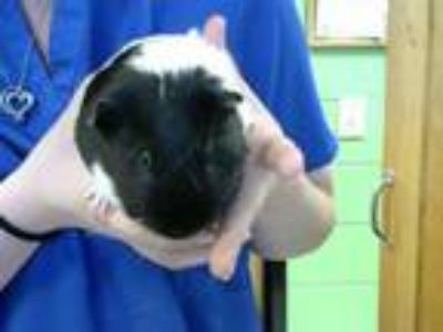 Adopt MIRACLE a Guinea Pig