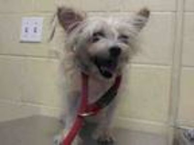 Adopt PRINCESS a Yorkshire Terrier