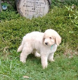 Poodle (Standard) PUPPY FOR SALE ADN-83044 - beautiful standard poodle puppies