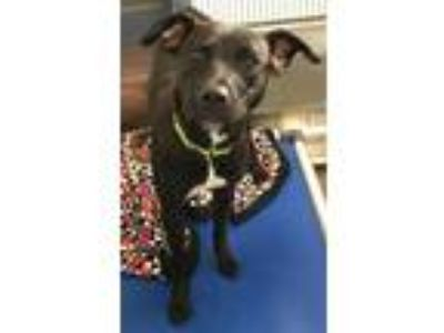 Adopt Paris a American Pit Bull Terrier / Mastiff / Mixed dog in Pittsburgh
