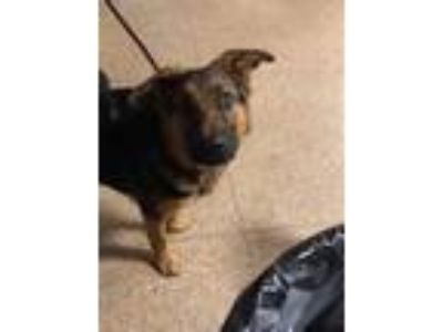 Adopt Winston a German Shepherd Dog