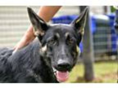 Adopt Onyx a Black - with Tan, Yellow or Fawn German Shepherd Dog / Mixed dog in