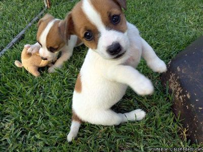 Priceless Jack Russell Terrier Puppies For Re