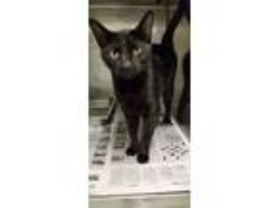 Adopt Trina(SWAC) a Domestic Short Hair