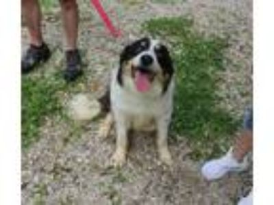 Adopt Joey a Border Collie / Mixed dog in Osage Beach, MO (25549319)