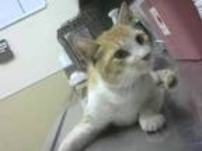 Adopt SCHNAPPS a Orange or Red Tabby Domestic Shorthair / Mixed (short coat) cat
