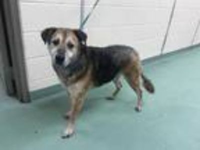 Adopt BIG GUY a Black - with Brown, Red, Golden, Orange or Chestnut Mixed Breed