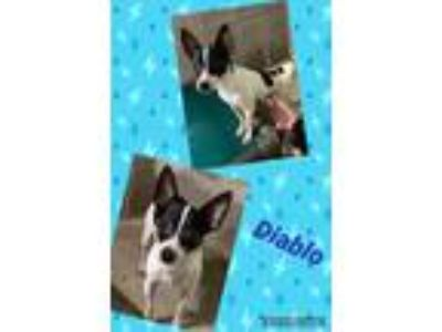 Adopt Diablo a Black - with White Rat Terrier / Mixed dog in Salem