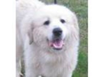 Adopt DAKOTA a Great Pyrenees