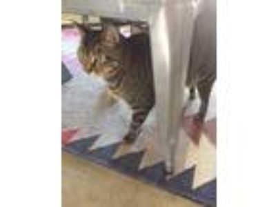 Adopt Riley a Brown Tabby Domestic Shorthair / Mixed cat in Fort Worth