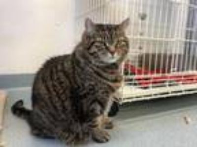 Adopt Jaqueline a Domestic Short Hair