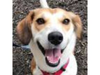 Adopt Mila *Adopt or Foster* a Beagle, Jack Russell Terrier