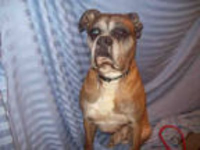 Adopt ZION a Brown/Chocolate Boxer / Mixed dog in Upper Marlboro, MD (25847707)