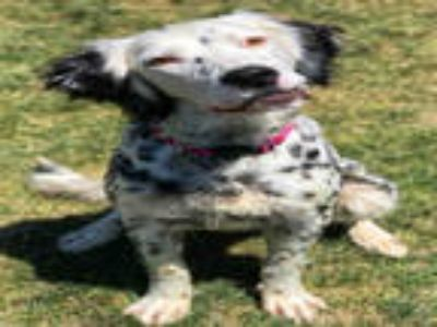 Adopt DAISY a White - with Black English Setter / Mixed dog in Ogden