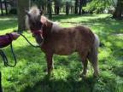 Adopt Dapples a Palomino Pony - Other horse in Dewey, IL (18063698)