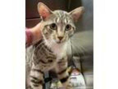 Adopt Striker a Gray, Blue or Silver Tabby Domestic Shorthair (short coat) cat