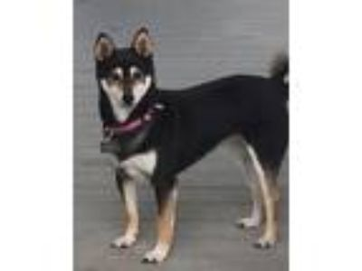 Adopt Reba a Black - with Tan, Yellow or Fawn Shiba Inu / Mixed dog in Boise