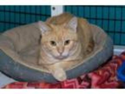 Adopt Pumpkin Spice a Domestic Short Hair