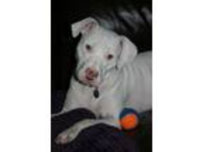 Adopt Apple a Pit Bull Terrier