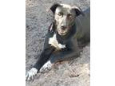 Adopt Peggy a Black Retriever (Unknown Type) / Border Collie / Mixed dog in