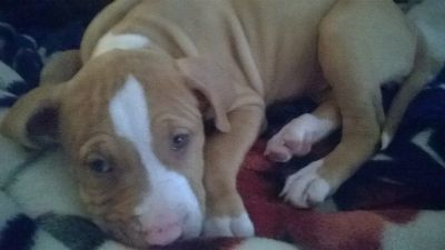 MISSING(STOLEN) 4 M/0 FEMALE PITBULL PUPPY