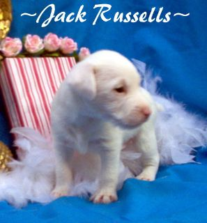 Jack Russell Terrier PUPPY FOR SALE ADN-108490 - FLASHY JACK RUSSELLS AVAILABLE