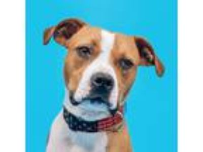 Adopt Darla a Tan/Yellow/Fawn - with White Boxer / Pit Bull Terrier / Mixed dog