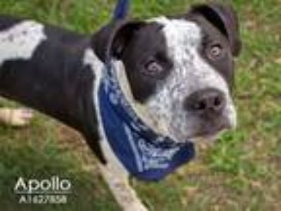 Adopt A1627858 a Staffordshire Bull Terrier, Mixed Breed
