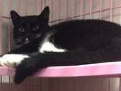 Adopt Silvia a Black & White or Tuxedo Domestic Shorthair (short coat) cat in