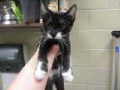 Adopt Tiberius a All Black Domestic Shorthair / Domestic Shorthair / Mixed cat