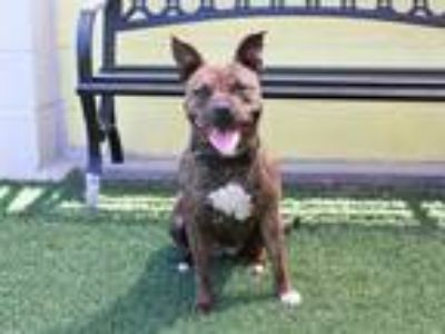 Adopt KNELL a Brindle American Pit Bull Terrier / Mixed dog in STOCKTON