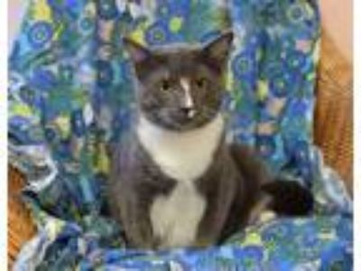 Adopt DeAngelo a Domestic Shorthair / Mixed cat in Westmont, IL (24812657)