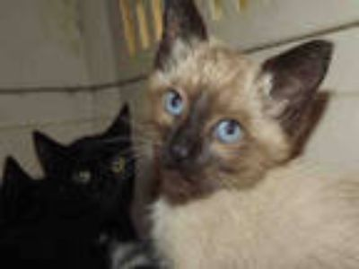 Adopt PENNY a Brown or Chocolate (Mostly) Siamese / Mixed (short coat) cat in