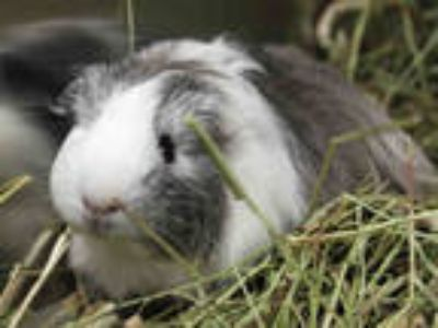 Adopt NACHA a White Guinea Pig / Mixed small animal in Tallahassee