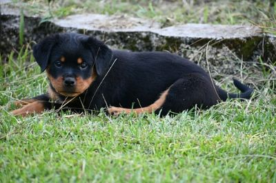 Rottweiler PUPPY FOR SALE ADN-88512 - Beautiful 8 week old female ready for her new home