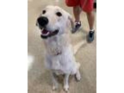 Adopt Chica (Foster Needed) a Labrador Retriever