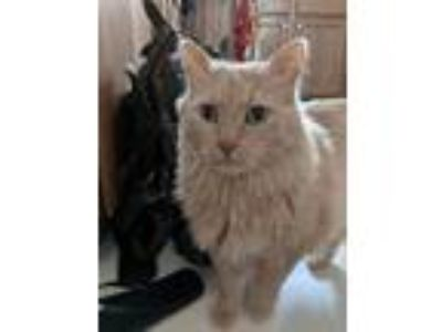 Adopt Oscar a Tan or Fawn Domestic Longhair cat in Eau Claire, WI (25915419)