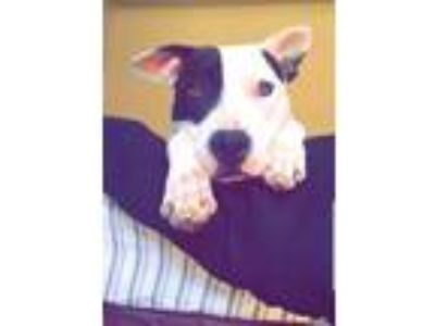 Adopt Jack a White - with Black American Pit Bull Terrier / Mixed dog in Lake