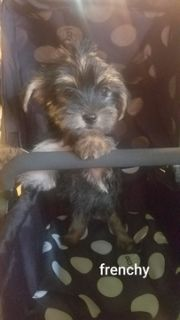 Yorkshire Terrier PUPPY FOR SALE ADN-83173 - home raised and very lovable yorkies