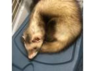 Adopt Poncho a Silver or Gray Ferret / Ferret / Mixed small animal in Menands