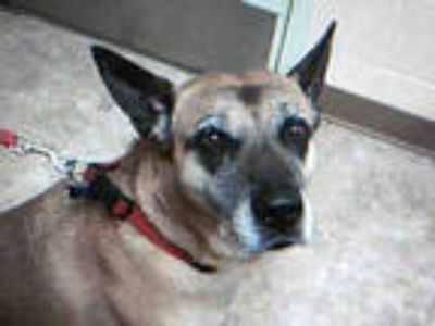 Adopt BUDDY a Tan/Yellow/Fawn - with Black Belgian Malinois / Chow Chow / Mixed