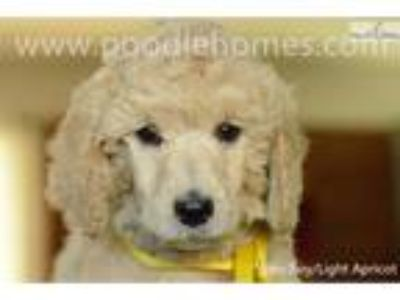 AKC CH Offspring-apricot Standard Poodle puppy