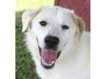 Adopt Pig a White Great Pyrenees / Mixed dog in Columbiana, AL (25219468)