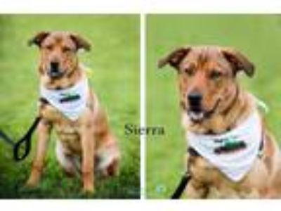 Adopt Sierra a Tan/Yellow/Fawn - with Black Retriever (Unknown Type) / Mountain
