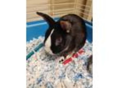 Adopt Sinatra a Dwarf / Mixed (short coat) rabbit in Fall River, MA (25359567)