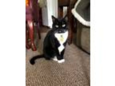 Adopt Sox (MUST BE ADOPTED WITH SABLE) a Domestic Short Hair